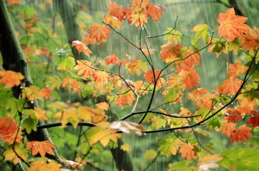 かえでの葉「AUTUMN MAPLE LEAVES IN RAIN IN WASHINGTON」:スマホ壁紙(19)