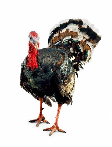 Turkey - Bird「THANKSGIVING AND CHRISTMAS TURKEY」:スマホ壁紙(17)