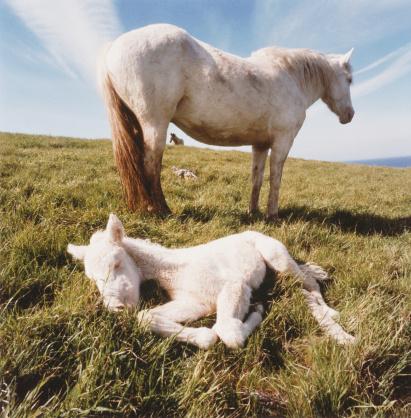Stallion「NEWBORN COLT WITH MARE STALLION IN BKGD, CHANNEL ISLANDS NATL.」:スマホ壁紙(7)