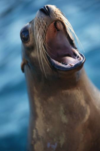 Mouth Open「CALIFORNIA SEA LION」:スマホ壁紙(13)