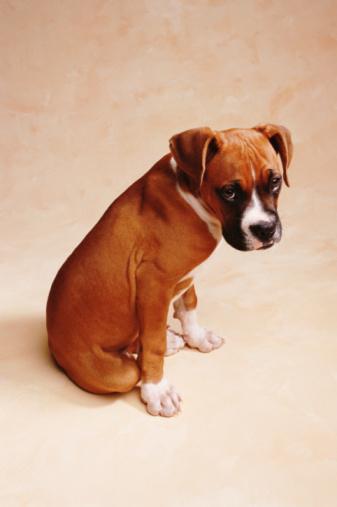 Boxer - Dog「BOXER PUPPY」:スマホ壁紙(16)