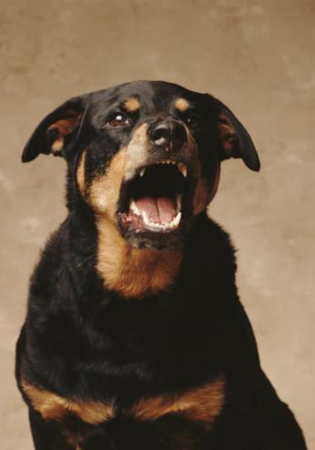 Rottweiler「ROTTWEILER BARKING」:スマホ壁紙(4)