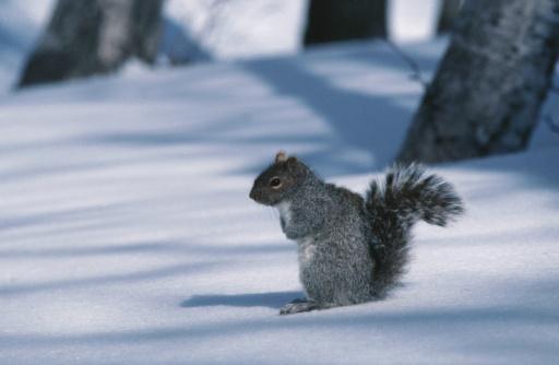 Eastern Gray Squirrel「23936348」:スマホ壁紙(14)