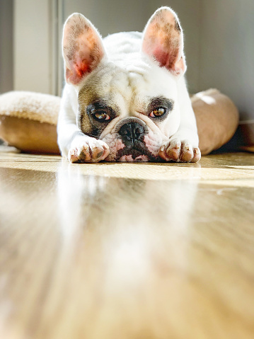 Animal Ear「Surface level view of a French Bull dog lying on the floor」:スマホ壁紙(12)
