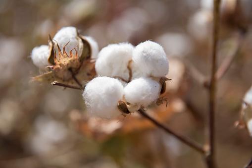 Branch - Plant Part「Cotton fields, Sardargarh, Rajasthan, India」:スマホ壁紙(1)