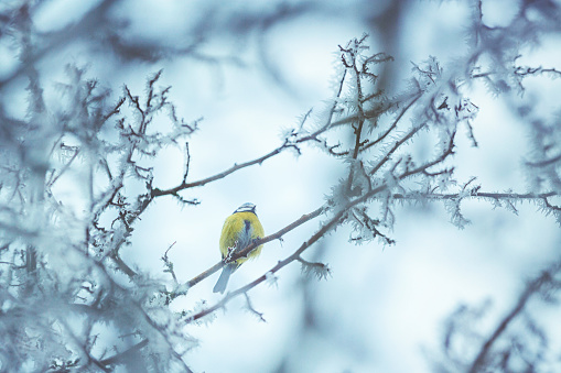 Flock Of Birds「Little birds sitting on a frozen tree in winter」:スマホ壁紙(13)