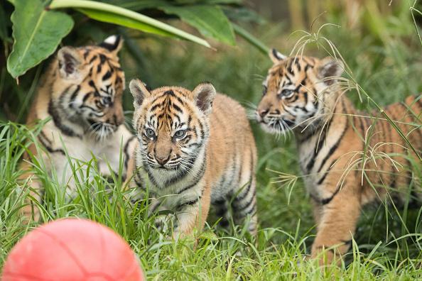 Big Cat「Rare Sumatran Tiger Cubs Make Public Debut At Taronga Zoo」:写真・画像(1)[壁紙.com]