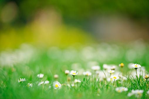 Single Flower「Daisies in spring」:スマホ壁紙(2)