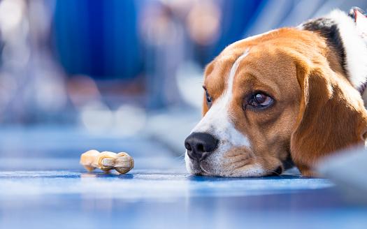 Bone「Sad looking beagle Dog with a chew bone」:スマホ壁紙(5)