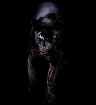 Big Cat「black panther」:スマホ壁紙(8)
