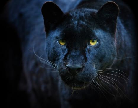 Big Cat「black panther」:スマホ壁紙(6)