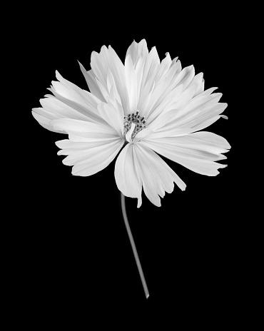 Atmosphere「White cosmos flower with stem in black & white on black.」:スマホ壁紙(9)