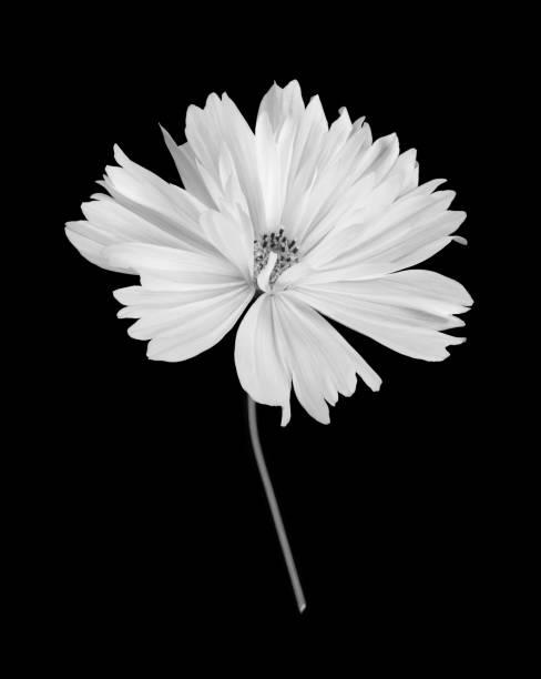 White cosmos flower with stem in black & white on black.:スマホ壁紙(壁紙.com)