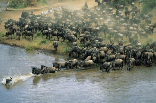 Animal Family「Herd of migrating wildebeest (Connochaetes taurinus) crossing river」:スマホ壁紙(1)
