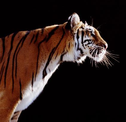Tiger「Tiger (Panthera tigris), profile」:スマホ壁紙(10)