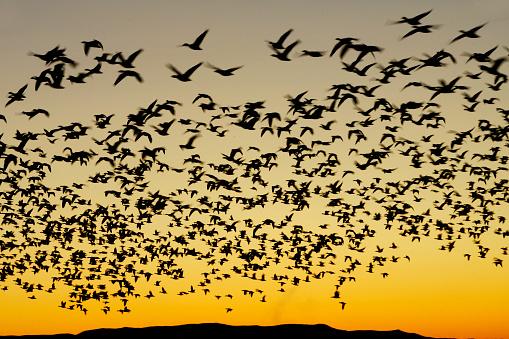 Flock Of Birds「Flock of Snow Geese at Sunset」:スマホ壁紙(4)