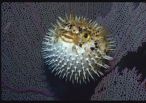 Soft Coral「Inflated Porcupinefish」:スマホ壁紙(1)