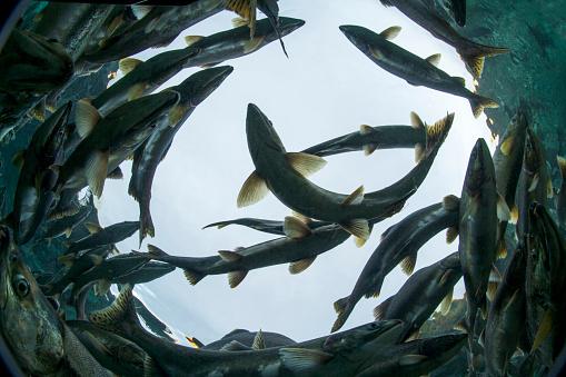 Wilderness Area「Spawning Salmon, Katmai National Park, Alaska」:スマホ壁紙(17)