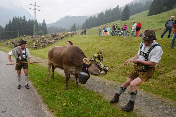 Handle「Cattle Return From Alpine Summer Grazing」:写真・画像(1)[壁紙.com]