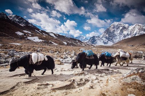 Sagarmāthā National Park「Yaks on Himalayas」:スマホ壁紙(13)