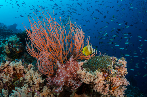 Soft Coral「Reef Scenic with Blacklip Butterflyfish」:スマホ壁紙(12)