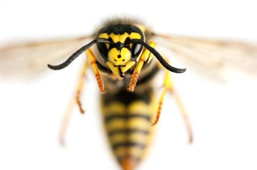 Animal Eye「Wasp closeup」:スマホ壁紙(5)