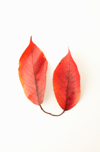 Two Objects「Two autumn leaves on white background」:スマホ壁紙(2)