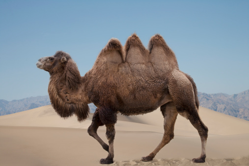 Walking「A camel with three humps. Digital composition.」:スマホ壁紙(15)