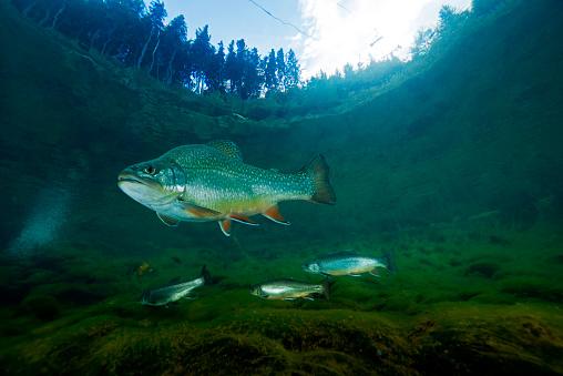 Four Animals「Austria, Styria, char and rainbow trouts in Lake Grueblsee」:スマホ壁紙(19)