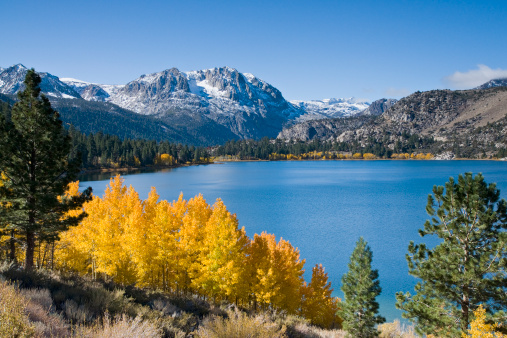Aspen Tree「Yellow fall aspen trees with snowy mountians and June Lake in the Sierra mountains of California」:スマホ壁紙(9)