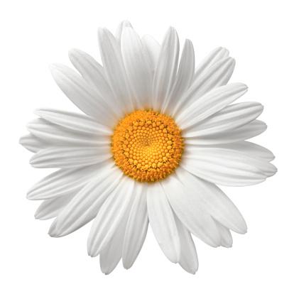 Flower Head「Daisy On White With Clipping Path」:スマホ壁紙(12)