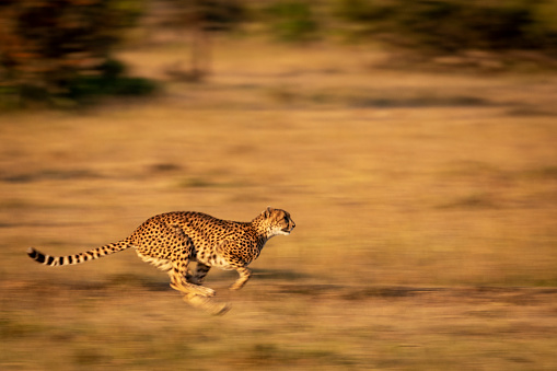 Masai Mara National Reserve「A cheetah (Acinonyx jubatus) races along with its legs tucked under its body. It has golden fur covered with black spots, and it's legs and the background are blurred by the slow shutter speed, Masai Mara」:スマホ壁紙(4)