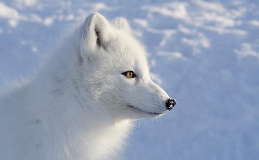 Snowdrift「Polar fox. Sideview.」:スマホ壁紙(14)