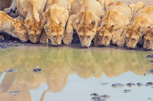 South Africa「Pride of lions drinking at a waterhole.」:スマホ壁紙(19)