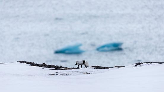 Pack Ice「Arctic fox (Alopex lagopus) walking on snow, Ny-Alesund, Spitsbergen, Svalbard and Jan Mayen, Norway」:スマホ壁紙(13)
