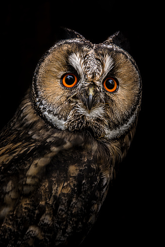 Animal Eye「Owl portrait」:スマホ壁紙(1)