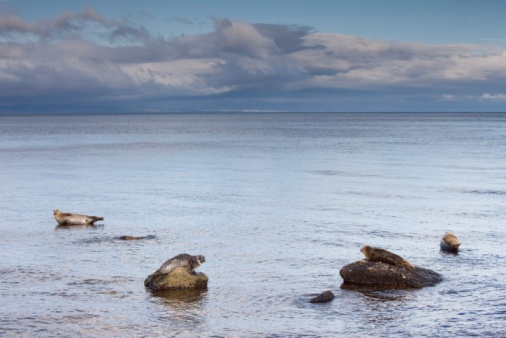 Island of Arran「Seals on rocks, Island of Arran, Scotland」:スマホ壁紙(3)