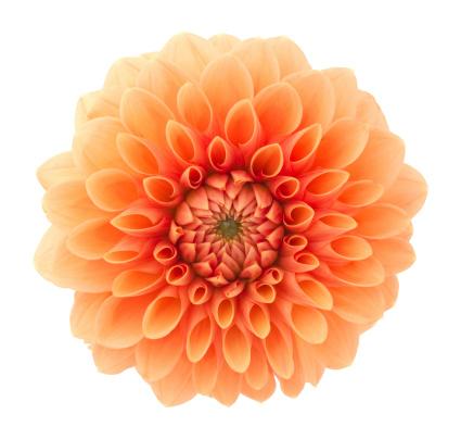 Single Flower「Dahlia」:スマホ壁紙(1)