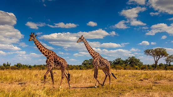 Walking「Giraffes walking across the savanna」:スマホ壁紙(3)