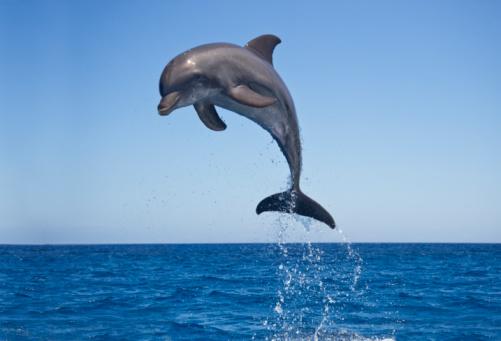 Central America「Bottle nosed Dolphin Jumping」:スマホ壁紙(18)
