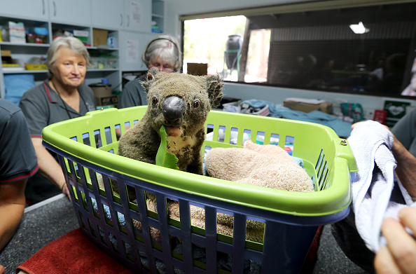 動物「Koala Hospital Works To Save Injured Animals Following Bushfires Across Eastern Australia」:写真・画像(18)[壁紙.com]