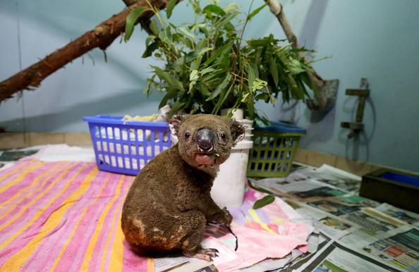 動物「Koala Hospital Works To Save Injured Animals Following Bushfires Across Eastern Australia」:写真・画像(1)[壁紙.com]