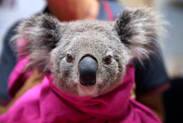Animal Themes「Koala Hospital Works To Save Injured Animals Following Bushfires Across Eastern Australia」:写真・画像(3)[壁紙.com]