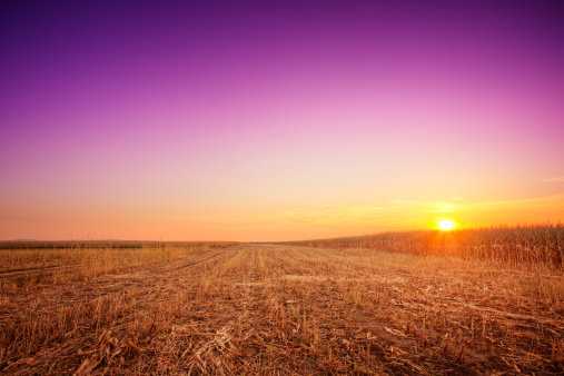 Corn - Crop「Purple sunset over the corn fields」:スマホ壁紙(14)