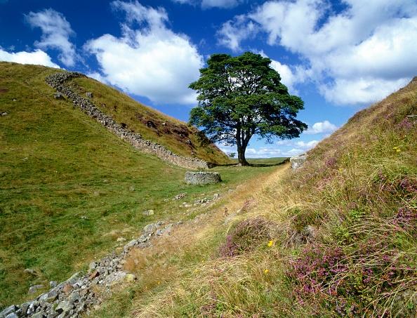 Tree「Sycamore Gap」:写真・画像(13)[壁紙.com]