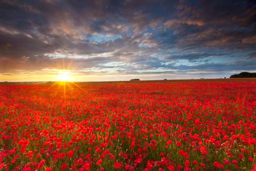Wildflower「Summer poppies at sunset」:スマホ壁紙(7)