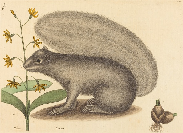 Gray Squirrel「The Grey Fox Squirrel (Sciurus Cinereus)」:写真・画像(2)[壁紙.com]
