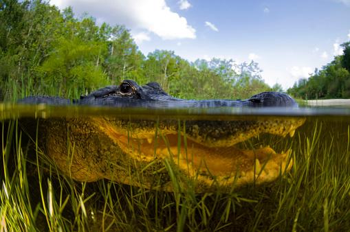 Shallow「Split level view of an American Alligator, Florida Everglades.」:スマホ壁紙(10)