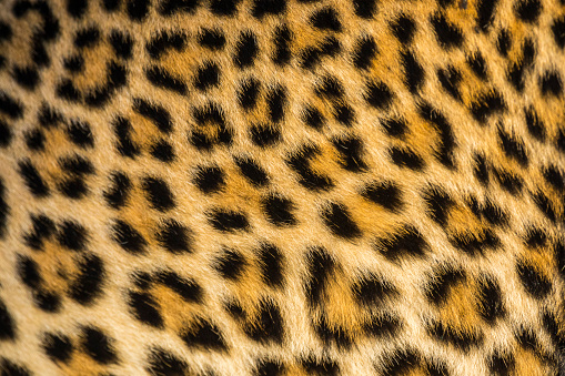 Eco Tourism「Close up of leopards (Panthera pardus) fur」:スマホ壁紙(16)