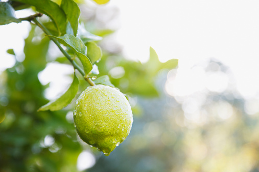 South Africa「Close up of wet lime on branch」:スマホ壁紙(15)